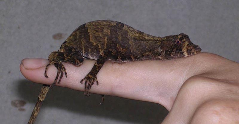 Costa Rica Lizards